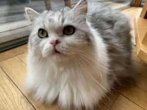 銀士郎くん猫